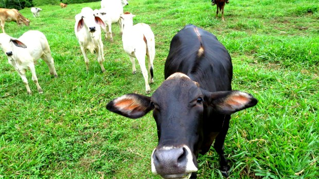 Manger de la viande est compatible avec respecter la vie animale.